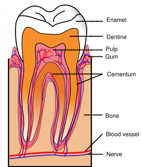 simple diagram of tooth simple diagram of compressor wiring root canal treatment explained by front range endodontics